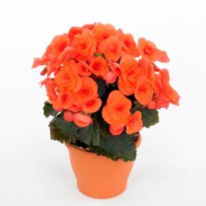 Βιγόνια πορτοκαλί