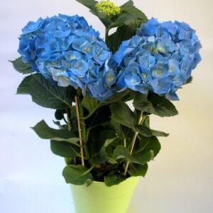 Ορτανσία γαλάζια