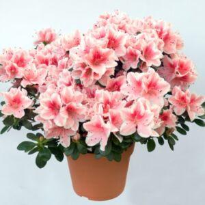 Αζαλέα ροζ